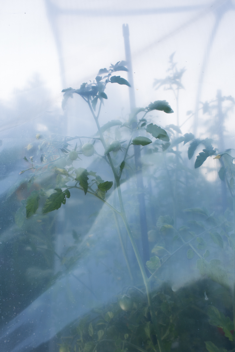 Manuel Rieder, Tomatenpflanze, aus